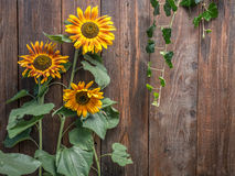Drie zonnebloemen stock afbeelding