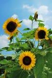 Drie zonnebloemen royalty-vrije stock fotografie