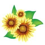 Drie zonnebloemen met bladeren Royalty-vrije Stock Foto