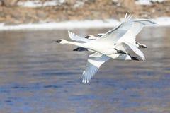 Drie zwanen die weg van rivier vliegen Royalty-vrije Stock Afbeelding