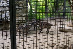 Drie zwarte hongerige wolvenstrijd stock fotografie