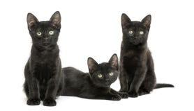 Drie Zwarte katjes die de camera, 2 maanden oud bekijken Royalty-vrije Stock Foto's