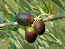Drie zwarte olijven van Kroatië - Dalmatië Royalty-vrije Stock Afbeelding