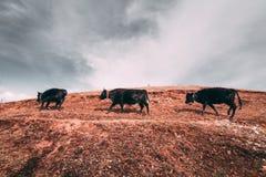 Drie zwarte tibetan yaks in een weiland bij bergen met donkere wolken Stock Afbeelding