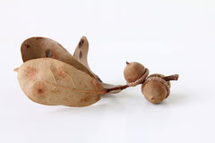 Dried acorn with leaves. Three dried acorns with leaves; white background Stock Image