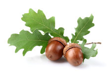 Dried acorn with leaves. In closeup Stock Image