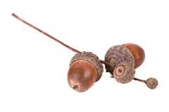 Dried acorn Royalty Free Stock Photos