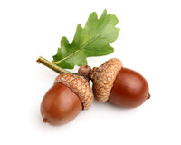 Dried acorns with leaf. In closeup Royalty Free Stock Photos