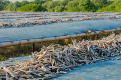 Dried anchovy dry by the sunlight Royalty Free Stock Images