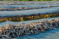 Dried anchovy dry by the sunlight Stock Image