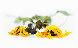 Dried arnica herbs Stock Photos
