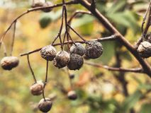 Dried Autumn Berries. Berries hanging on a branch as the end of autumn draws near Royalty Free Stock Image