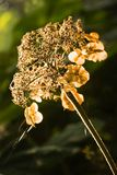Dried Autumn flower. What is left from a flower in autumn Royalty Free Stock Photography