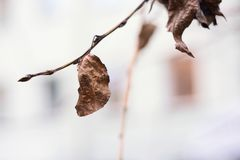 A dried autumn leaf on a branch Royalty Free Stock Photo