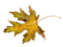 Dried autumn leaf Royalty Free Stock Image