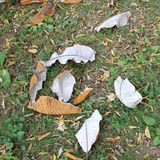 Dried autumn leaf of Magnolia Macrophylla in autumn at botanical garden Royalty Free Stock Photo