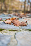 Dried autumn leafs Royalty Free Stock Image