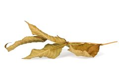 Dried autumn leaves  Stock Image