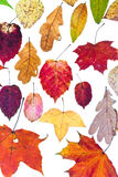 Dried autumn leaves Royalty Free Stock Photo