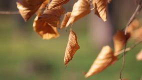 Dried autumn leaves of birch tree are swing in the wind close-up stock video footage