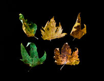 Dried Autumn Leaves on Black Background Stock Photo