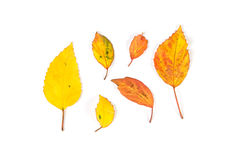 Dried autumn leaves falling down on white background Royalty Free Stock Photography