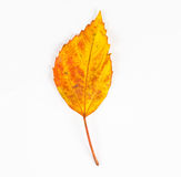 Dried autumn leaves falling down on white background Stock Photos