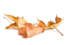 Dried autumn leaves isolated Stock Image
