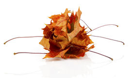 Dried autumn leaves Stock Images