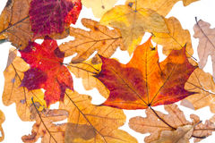 Dried autumn maple and oak leaves Royalty Free Stock Images