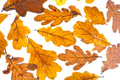 Dried autumn oak leaves Royalty Free Stock Photo