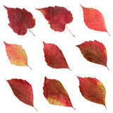 Dried Autumn Red Leaves. The set of dried Autumn leaves isolated on white background Royalty Free Stock Photos