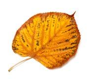 Dried autumn tilia leaf Royalty Free Stock Image
