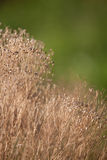 Dried babys breath. Vertical image of dried babys breath Royalty Free Stock Images