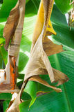 Dried banana leaf Stock Image