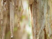 Dried banana leaves on the tree brown background. Blurred nature brown stock photo