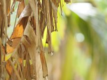 Dried banana leaves on the tree brown background. Blurred nature royalty free stock image