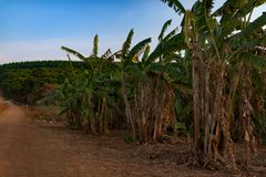 Dried Banana trees grooving in the local farm. After harvesting. Cambodia, Banlung province Royalty Free Stock Photography