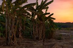 Dried Banana trees grooving in the local farm. After harvesting. Cambodia, Banlung province Royalty Free Stock Images
