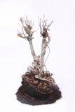 Dried banyan tree Stock Photo