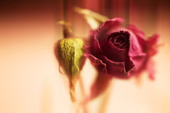 Dried beautiful flower of red rose Stock Photo