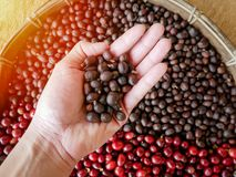 Dried berries coffee beans in hand ,coffee beans berries drying with sun natural process.  Stock Image