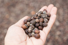 Dried berries coffee beans on hands Royalty Free Stock Image