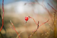 Dried berry of wild rose on branch Royalty Free Stock Photos