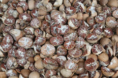 Dried betel, areca nuts Stock Photography