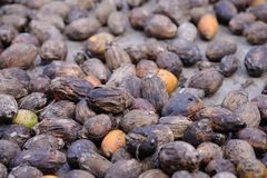 Dried Betel Nut or Areca Nut. Stock Image