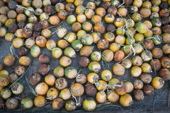 Dried betel nut or areca nut Stock Image