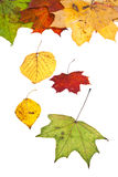 Dried birch aspen maple and many autumn leaves Stock Images