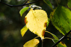 Dried birch leaf Stock Photos