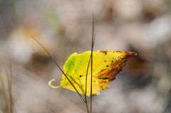 Dried birch leaf Royalty Free Stock Images